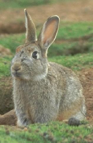 Conejo de monte (Oryctolagus cuniculus)