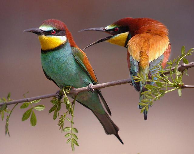 pareja de abejarucos