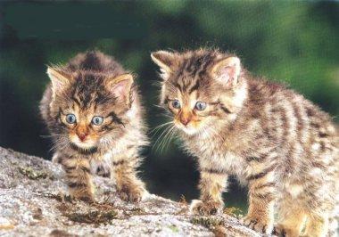 Cachorros de gato montés (Felix silvestris)