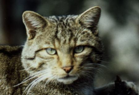 El gato montés (Felix silvestris)