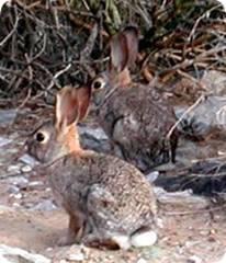Conejo (Oryctolagus cuniculus)