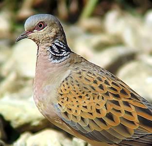 Tortola común (Streptopelia turtur)
